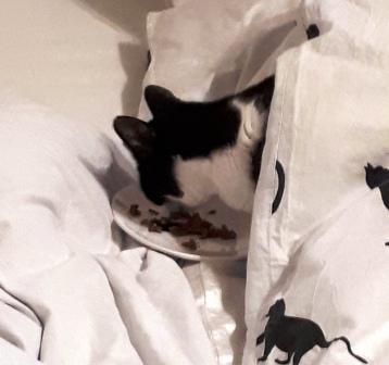 Katze frisst Nassfutter im Bett