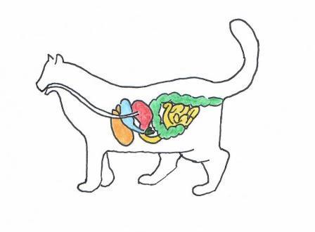 Verdauungsapparat der Katze